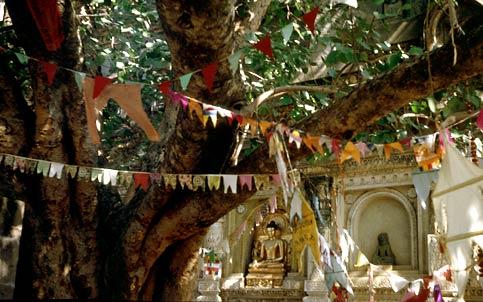 Bodhiträdet bakom Mahabodhitemplet / The Bodhi Tree behind the Mahabodhi temple